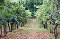 VEGETATION - VINEYARD